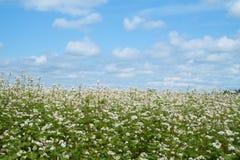 Buckwheat flower Stock Images