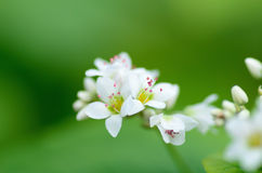 Buckwheat flowers Stock Photo