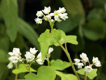 Buckwheat flowers Royalty Free Stock Photos