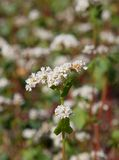 Buckwheat flowers Stock Photos