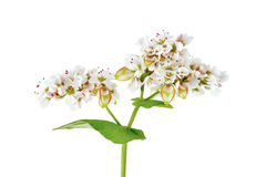 Buckwheat Flowers Stock Photography