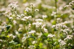 Buckwheat flowers on field in summer Stock Image