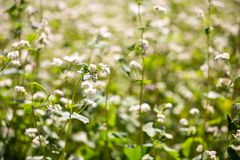 Buckwheat flowers on field in summer Royalty Free Stock Photography