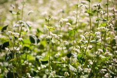 Buckwheat flowers on field in summer Royalty Free Stock Photo