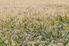 Buckwheat flowers field Stock Images
