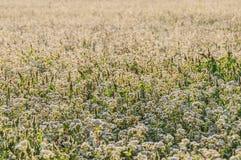Buckwheat flowers field Stock Images