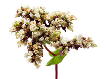Buckwheat. flowers and grains isolated on white Stock Photos