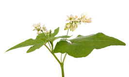 Buckwheat flowers royalty free stock images