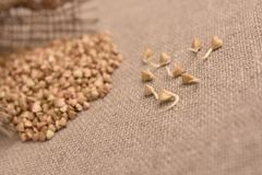 Buckwheat grain. Sprouts. Neutral background. Healthy food Stock Photography