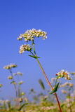 Buckwheat inflorescence Royalty Free Stock Photography