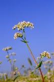 Buckwheat inflorescence royalty free stock photography