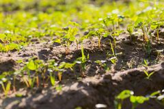 Buckwheat sprouts growing on field Stock Images