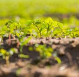 Buckwheat sprouts growing on field Stock Photos