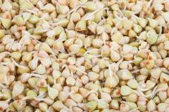 Buckwheat sprouts. Macro Stock Image