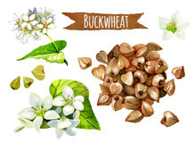 Buckwheat, watercolor set, clipping paths included royalty free stock images