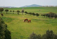 Bucolic landscape. This bucolic landscape is in Vulci, Italy. In this picture, three horses are ruminating the green grass Royalty Free Stock Photo