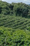 Bucolic landscape with coffee plantation. Bucolic landscape, with coffee plantation in the hills of Minas Gerais, Brazil Royalty Free Stock Images