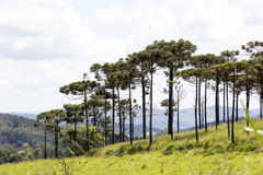 Bucolic landscape with meadows and pine trees. AMPARO, SP, BRAZIL - FEBRUARY 9, 2016 - Natural landscape in the countryside with pine species Araucaria Royalty Free Stock Photo