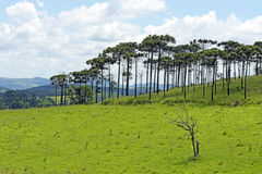 Bucolic landscape with meadows and pine trees. AMPARO, SP, BRAZIL - FEBRUARY 9, 2016 - Natural landscape in the countryside with pine species Araucaria Royalty Free Stock Photography