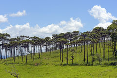 Bucolic landscape with meadows and pine trees. AMPARO, SP, BRAZIL - FEBRUARY 9, 2016 - Natural landscape in the countryside with pine species Araucaria Royalty Free Stock Image