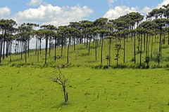 Bucolic landscape with meadows and pine trees. AMPARO, SP, BRAZIL - FEBRUARY 9, 2016 - Natural landscape in the countryside with pine species Araucaria Stock Image