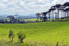 Bucolic landscape with meadows and pine trees. AMPARO, SP, BRAZIL - FEBRUARY 9, 2016 - Natural landscape in the countryside with pine species Araucaria Royalty Free Stock Photos