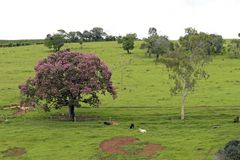 Bucolic landscape with pink flower tree. And cattle resting on grass. Minas Gerais, Brazil Royalty Free Stock Photo