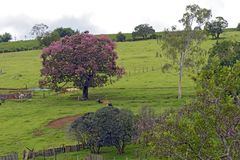Bucolic landscape with pink flower tree. And cattle resting on grass. Minas Gerais, Brazil Royalty Free Stock Photography