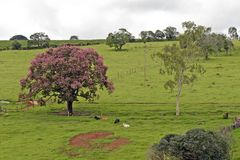 Bucolic landscape with pink flower tree. And cattle resting on grass. Minas Gerais, Brazil Stock Photo