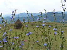 Bucolic panorama of the Maramures in Romania with blue camp flowers in foreground, balls of hay and mountains in distance. Bucolic panorama of the Maramures in Royalty Free Stock Photo