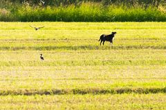 Bucolic pet with birds around. Agriculture farming Royalty Free Stock Photography