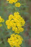 Bucolic portrait of  Euphorbia. Yellow flowers on green background Royalty Free Stock Image