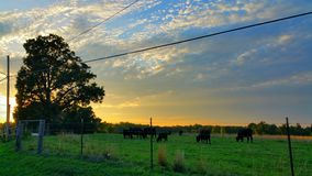 Dramatic country sunset. A bucolic scene with a lone tree silouetted with black Angus cows grazing in a fenced field while a golden sunset creates a dramatic Royalty Free Stock Photography