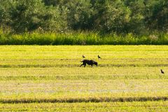 Bucolic scenery with a dog out in a farm Royalty Free Stock Photography