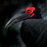 Bucorvus. On the black background Stock Photo