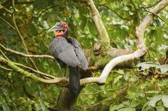 Bucorvus leadbeateri bird. Horned black raven aka Bucorvus leadbeateri with red beak sitting on the tree Stock Images