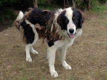 Bucovina牧羊犬 库存图片