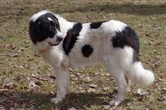 Bucovina herdehund Royaltyfri Fotografi