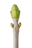 Bud. Spring oak bud isolated on white background, clipping path included Royalty Free Stock Photos