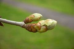 Bud. Horse Chestnut bud with background out of focus Royalty Free Stock Image