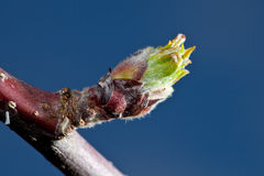A Bud of an Apple in early Spring Royalty Free Stock Image