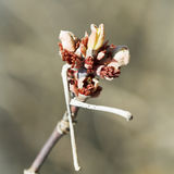 Bud on apple tree twig in spring day Royalty Free Stock Photography