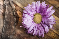 Bud of aster in blossom Stock Images
