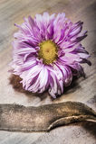 Bud of aster in blossom Stock Photography