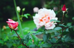 A bud of a beautiful pink rose royalty free stock photo