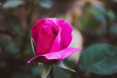 A Bud of a beautiful pink rose royalty free stock photography
