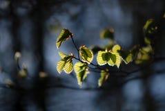 Bud Beech Forest fotografia de stock royalty free