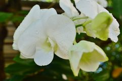 Bud and Bloom of White Orchids. The fresh orchid is very very beautiful flower royalty free stock images