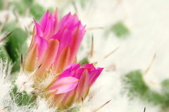 Bud blooming cactus  background Royalty Free Stock Image