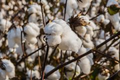 Bud of Blooming Cotton Plant. In Georgia field Royalty Free Stock Photography